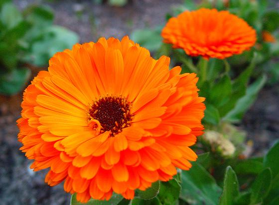 Resultado de imagem para flores calêndula